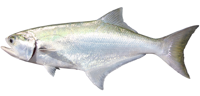 Beach salmon