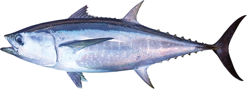 Tuna longtail