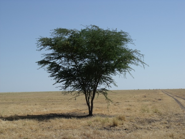 Mesquite tree on the Barkly
