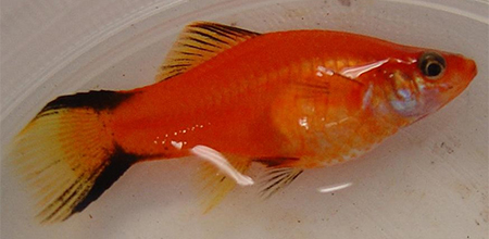 Swordtail fish breeding