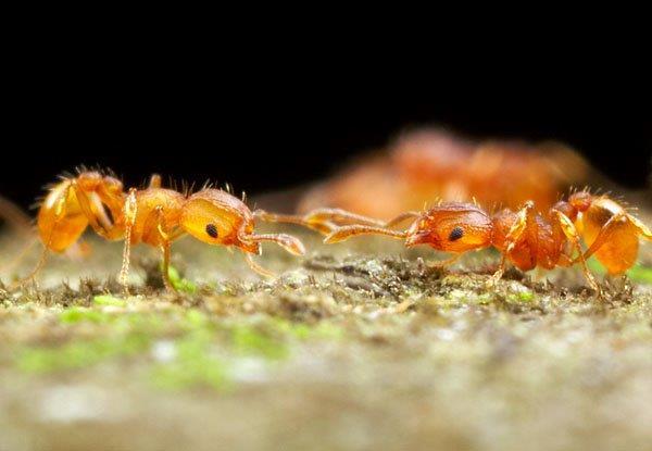 Electric ants