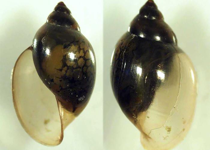 Glyptophysa
