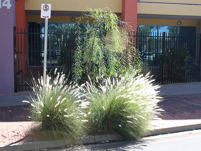 Fountain grass - habit