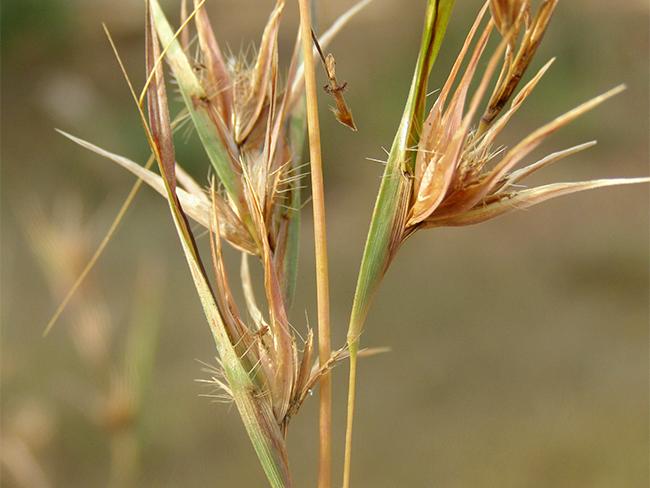 Grader grass - seed heads