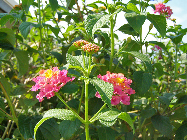 Lantana - stems and branches (common)