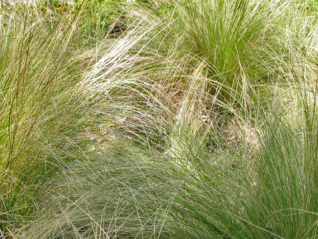 Mexican feather grass - infestation