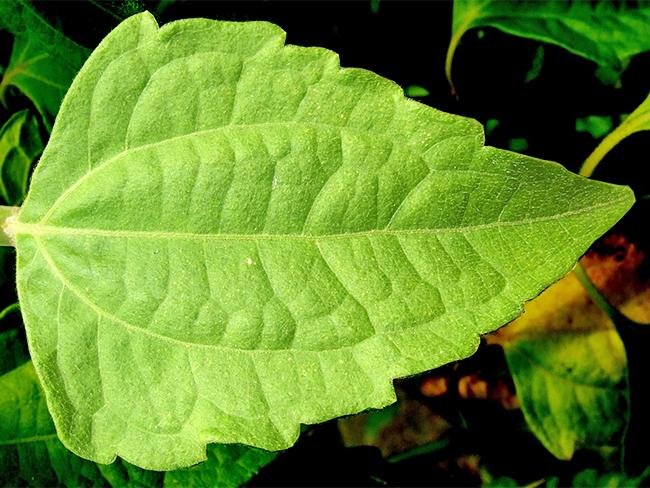 Siam weed leaf