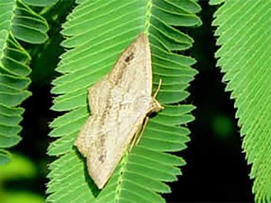 Leaf feeding moth (Macaria pallidata) - adult
