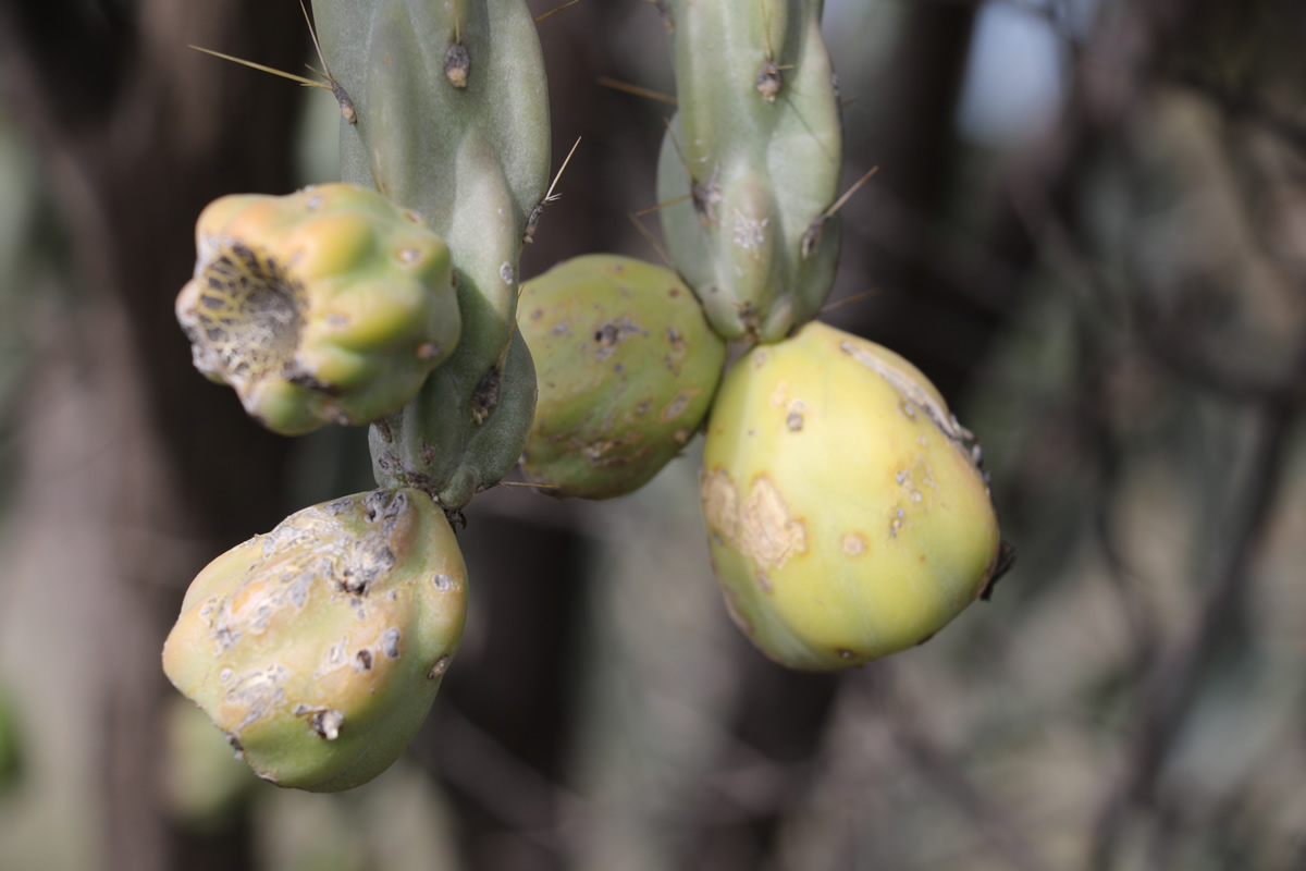 Rope cactus - fruit