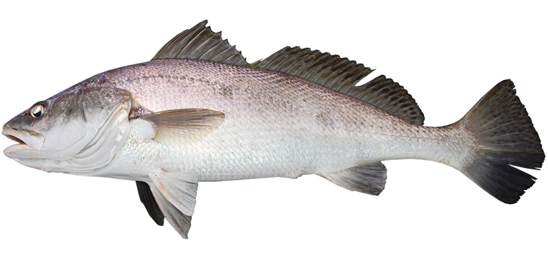 Black jewfish