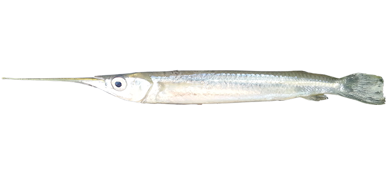Garfish species