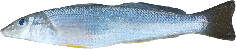 Northern whiting