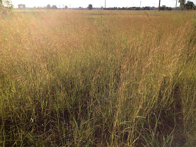 Thatch grass - infestation