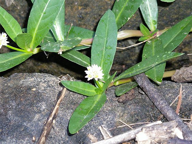 Alligator weed - leaves