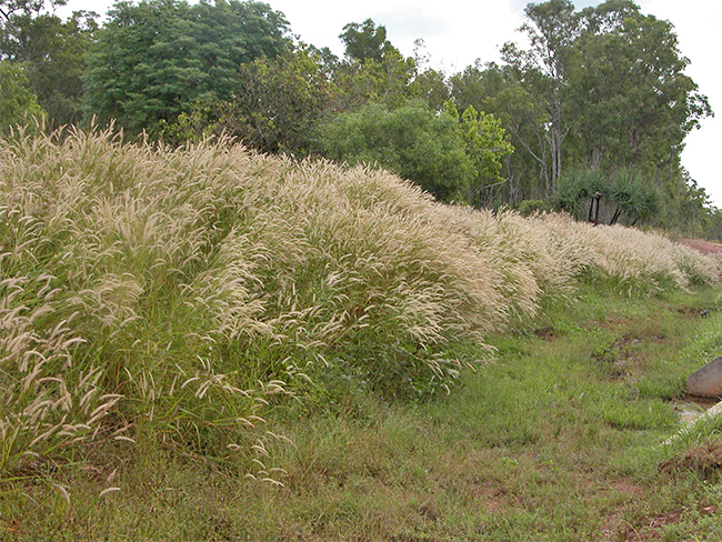 Mission grass - habit (annual)