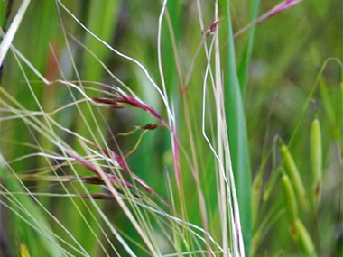 Mexican feather grass - flowers