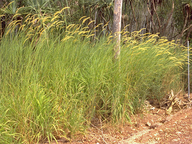 Mission grass - habit (perennial)
