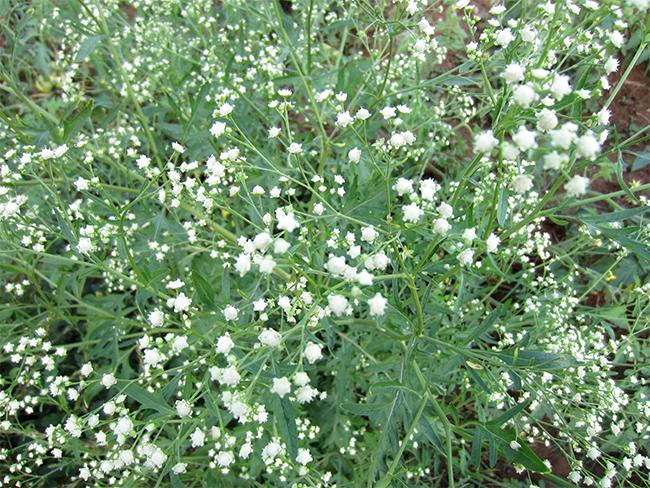 Parthenium - flowers