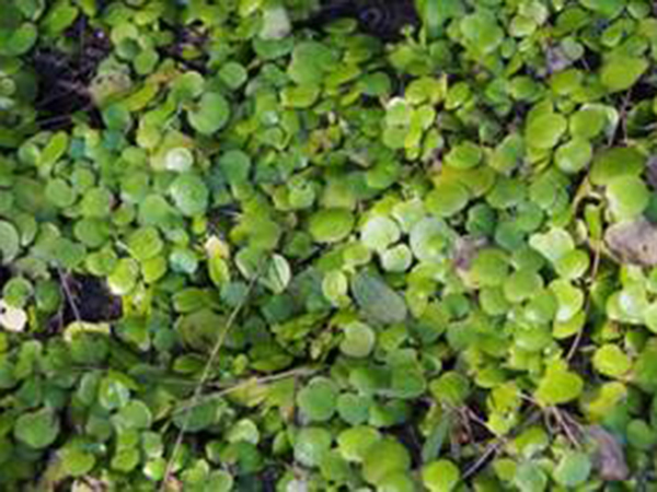 Amazon frogbit - reproduction