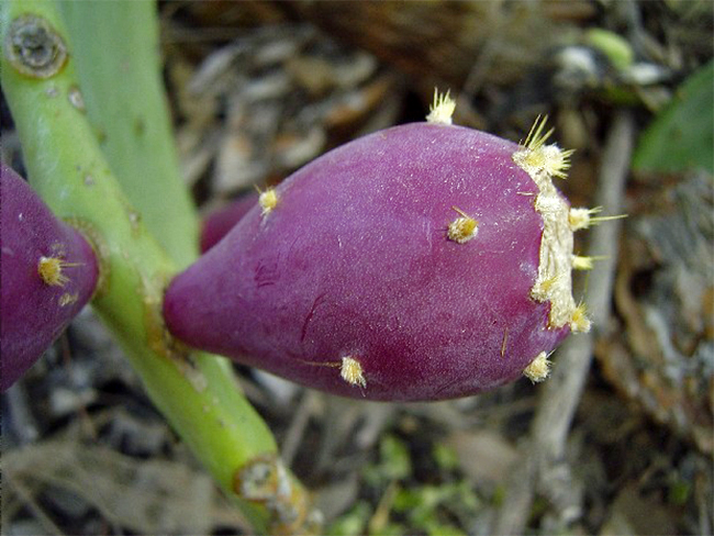 Opuntioid cacti - fruit and seeds