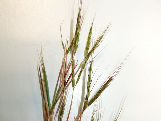 Thatch grass - fruit and seeds