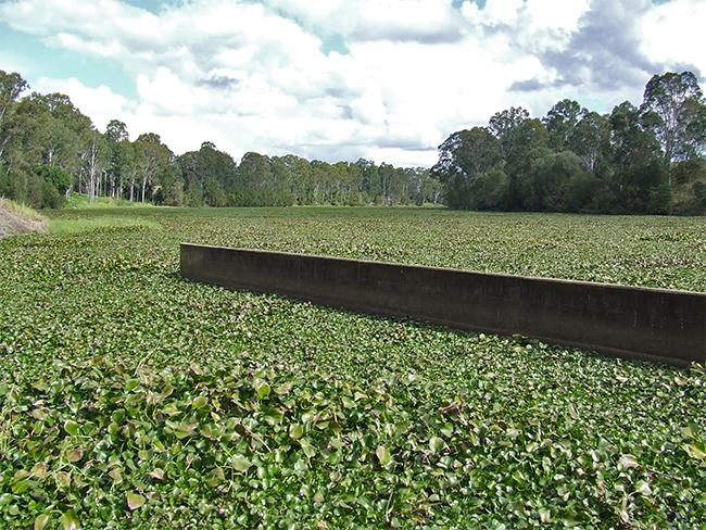Water hyacinth - infestation