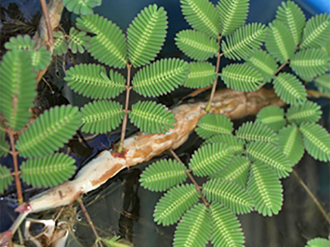 Water mimosa - stems and branches
