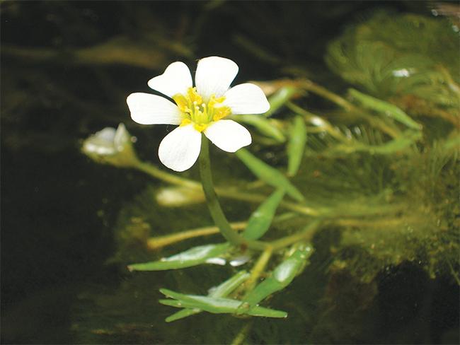 Cabomba - flower