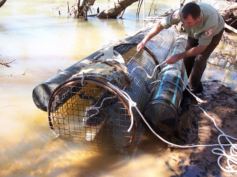 Ranger checking traps: Ranger John secures the jaws before removing this croc from the trap.
