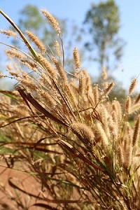 Mission grass - fruit and seeds (perennial)