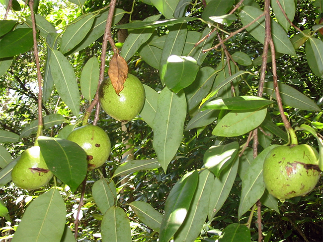 Pond apple - fruit and seed