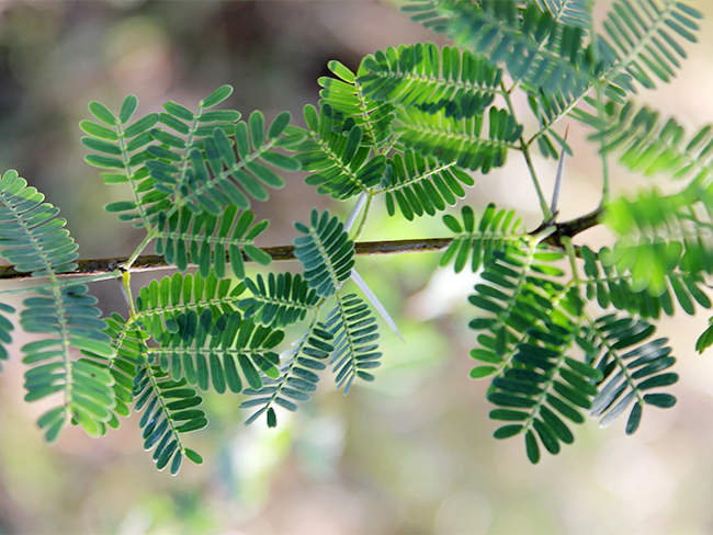 Prickly acacia - leaves