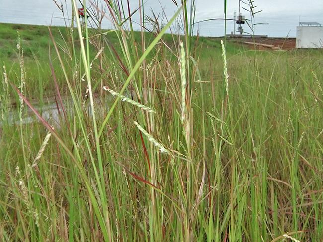 Thatch grass - spread