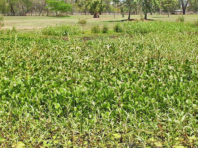 Water hyacinth - habit