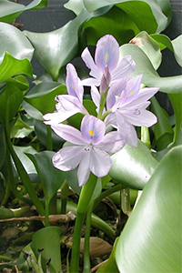Water hyacinth - flower