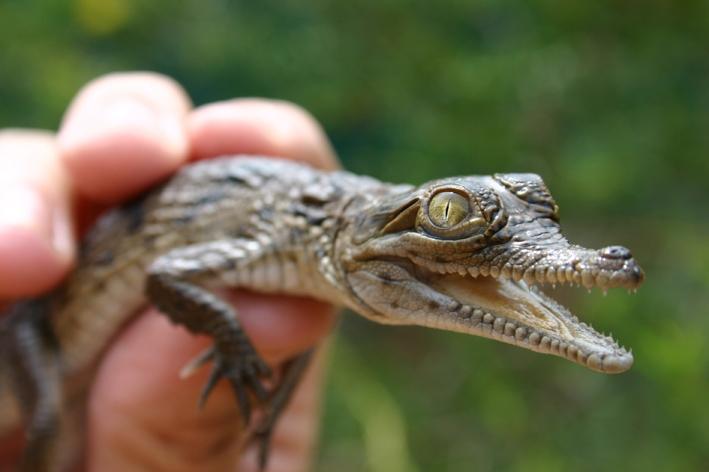 Hatchling: A juvenile saltwater croc. The average saltwater croc egg weighs 113g and the average hatchling measures 29.3cm.