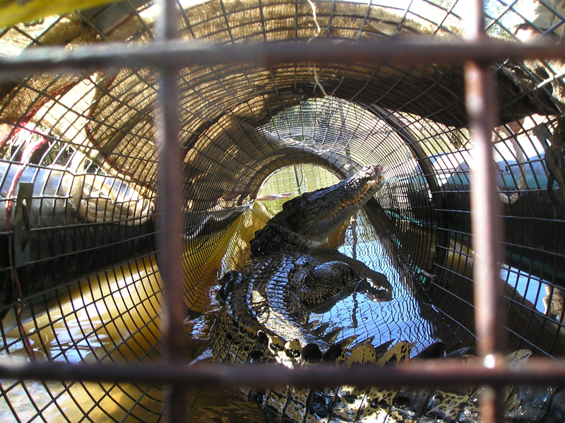 Saltwater crocodile in trap: Saltwater crocs are caught in traps set by Parks and Wildlife Rangers. Captured crocs are sent to croc farms.