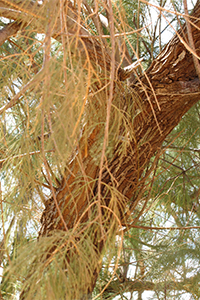 Athel pine - stems and branches