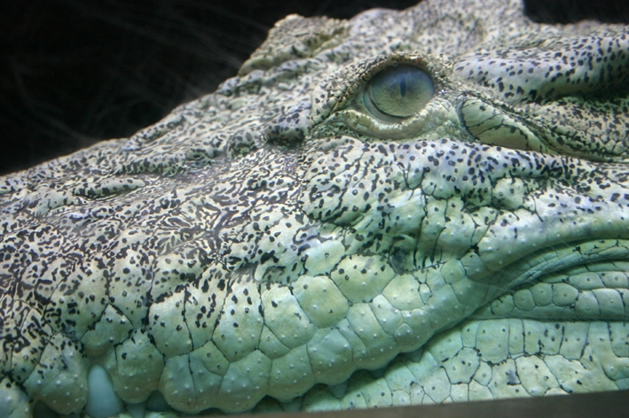 Saltwater crocodile head:</br> Close together and forward facing eyes help crocs to see really well and accurately judge distances. They also have a transparent second eye-lid that helps them see underwater.