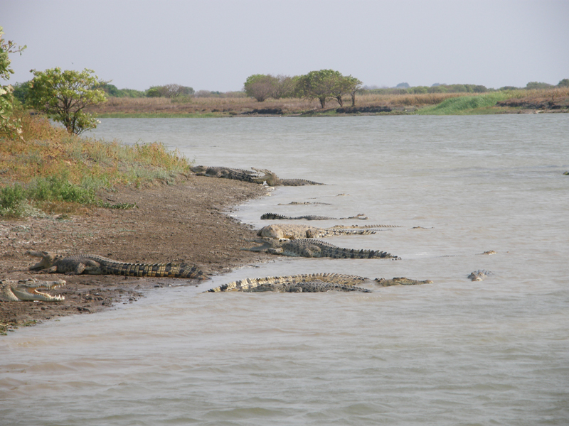 Basking crocodiles: Basking crocs at Shady Camp. Crocs are often observed basking with their mouths open; it is thought that this prevents their brain from overheating while still allowing them to absorb heat.