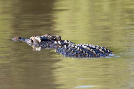 Swimming crocodile: Saltwater crocs can stay underwater for at least one hour because they can reduce their heart rate to 2-3 beats per minute. This means that crocs can wait underwater until they see prey, or if people are using the same spot regular