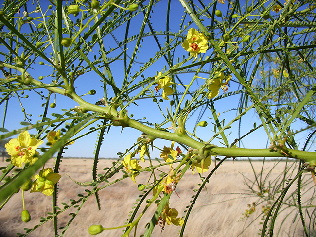 Parkinsonia - stems and roots