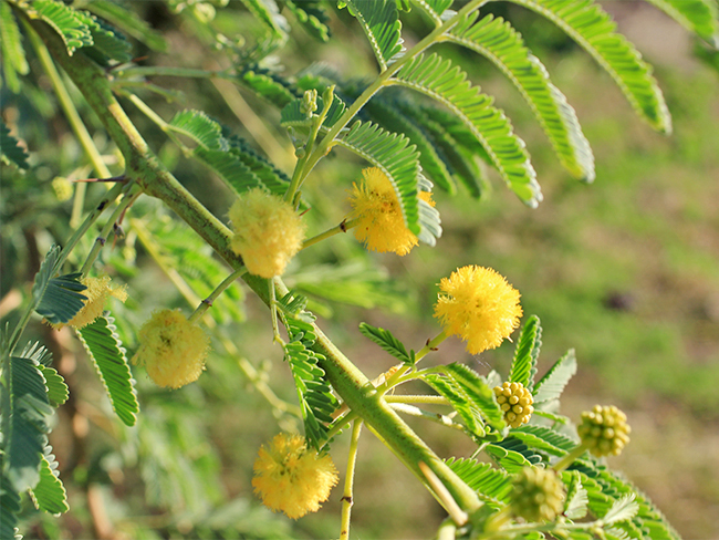 Prickly acacia - flowers